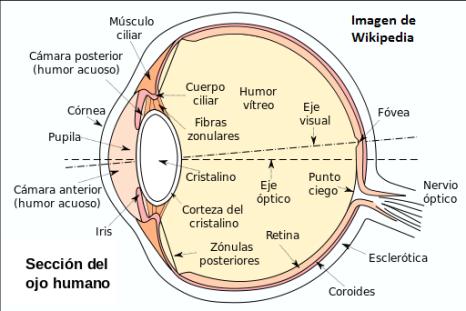 partes del ojo de la cámara anterior