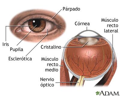 Anatomía ocular: segmento anterior y posterior